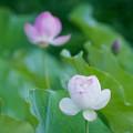 14中井蓮池の里【ハスの花(白色)】3-4