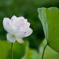15中井蓮池の里【ハスの花(白色)】3-5