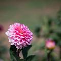 04神代植物公園【ダリア:エポック】4