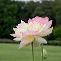 15神代植物公園【蓮:ミセス・スローカム】3
