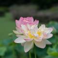 16神代植物公園【蓮:ミセス・スローカム】4