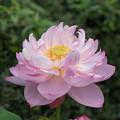 18神代植物公園【蓮:露華濃】2