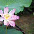 19神代植物公園【蓮:玄武紅蓮】1