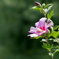 28神代植物公園【ムクゲ:紫細弁】3