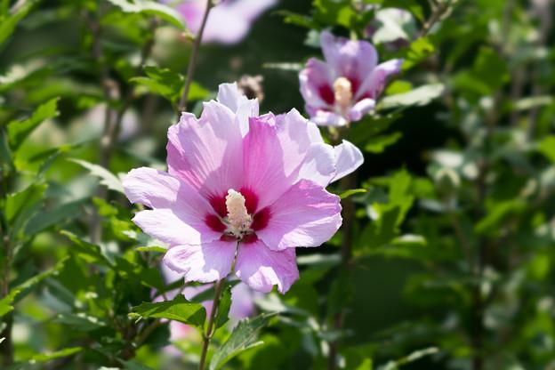 29神代植物公園【ムクゲ:紫細弁】4