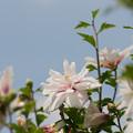 32神代植物公園【ムクゲ:耳原花笠】3