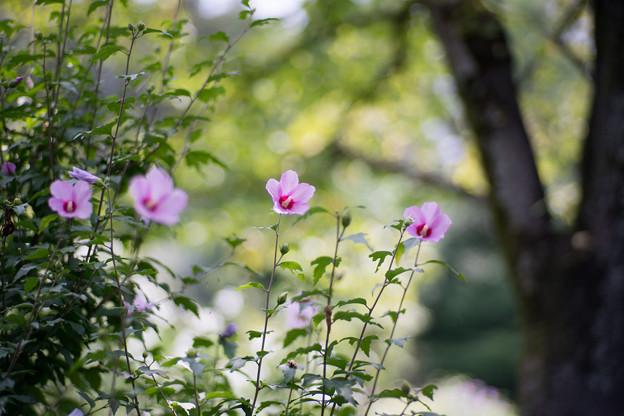 34神代植物公園【ムクゲ:平家山】1