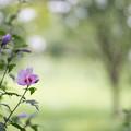 35神代植物公園【ムクゲ:平家山】2