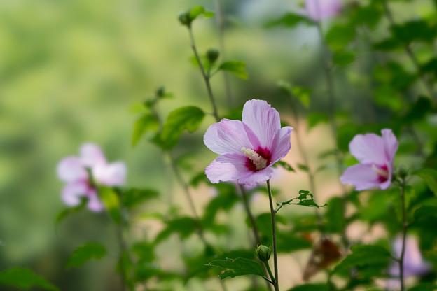 36神代植物公園【ムクゲ:平家山】3