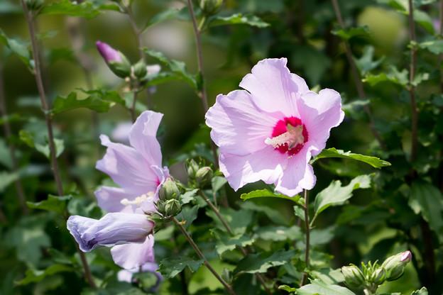 39神代植物公園【ムクゲ:コーレスティス】3