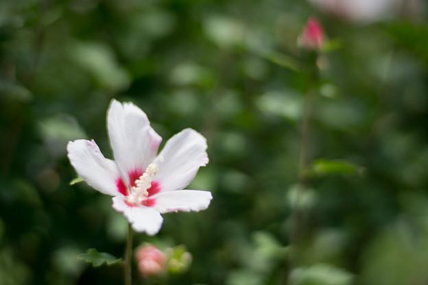 41神代植物公園【ムクゲ:白筋入】1