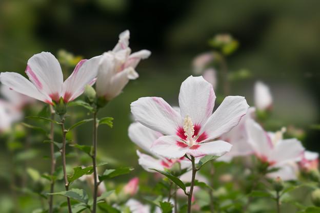 42神代植物公園【ムクゲ:白筋入】2