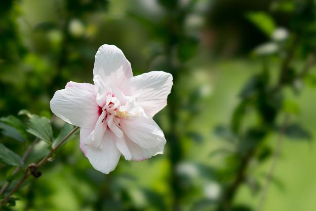 43神代植物公園【ムクゲ:ピンク・デライト】
