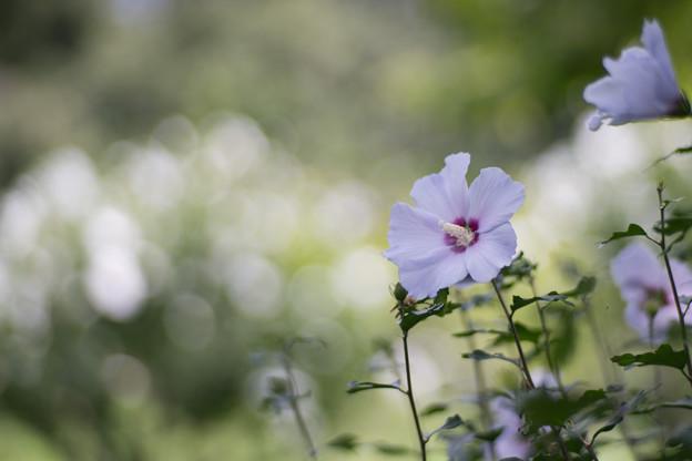44神代植物公園【ムクゲ:夏空】1