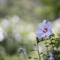 Photos: 44神代植物公園【ムクゲ:夏空】1