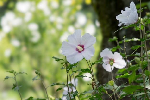 45神代植物公園【ムクゲ:夏空】2