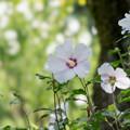 Photos: 45神代植物公園【ムクゲ:夏空】2