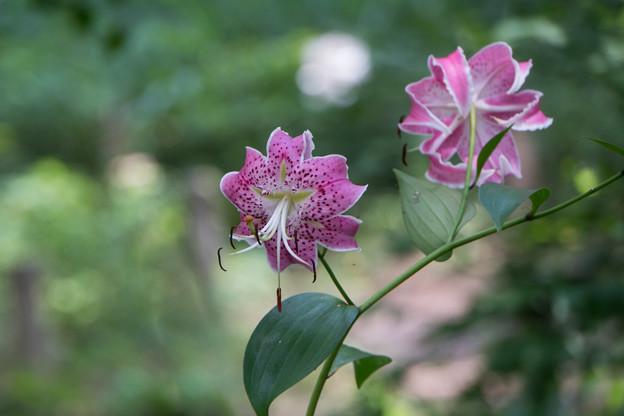 48神代植物公園【百合:カノコユリ】3