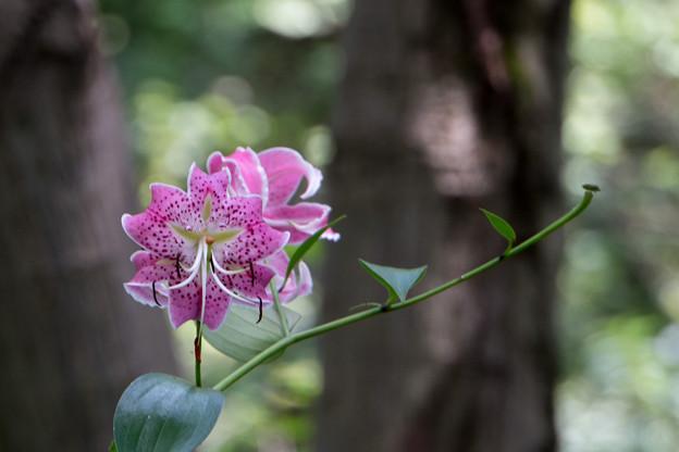 50神代植物公園【百合:カノコユリ】5
