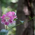 Photos: 50神代植物公園【百合:カノコユリ】5