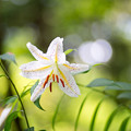 Photos: 52神代植物公園【百合:ヤマユリ】2