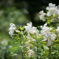 Photos: 54神代植物公園【百合:カサブランカ】1