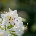 Photos: 55神代植物公園【百合:カサブランカ】2
