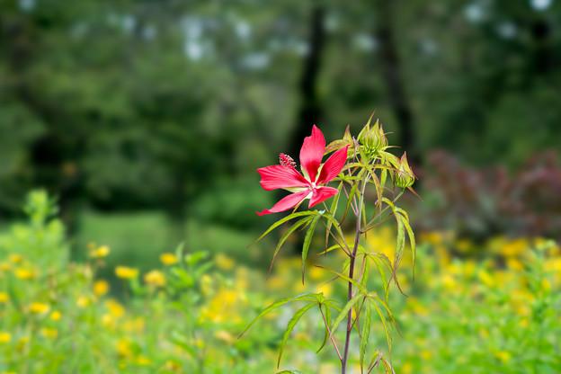 58神代植物公園【モミジアオイ】1