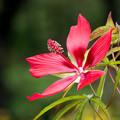 59神代植物公園【モミジアオイ】2