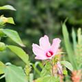 60神代植物公園【アメリカフヨウ】1