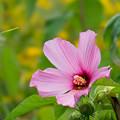 Photos: 61神代植物公園【アメリカフヨウ】2