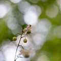 62神代植物公園【レンゲショウマ】1