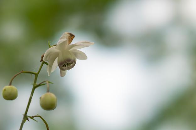 63神代植物公園【レンゲショウマ】2