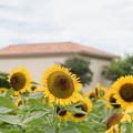 18ソレイユの丘【入口花壇:ヒマワリのアップ】1