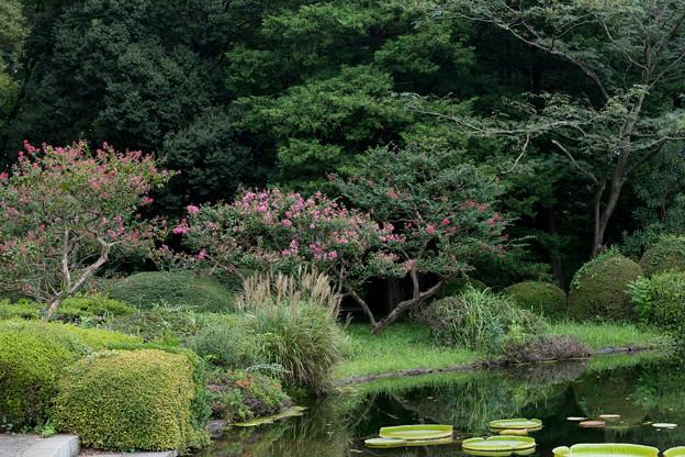 03神代植物公園【サルスベリ】1