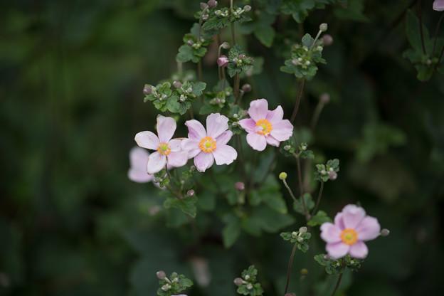 10神代植物公園【シュウメイギク】3