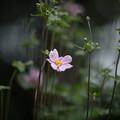 12神代植物公園【シュウメイギク】5