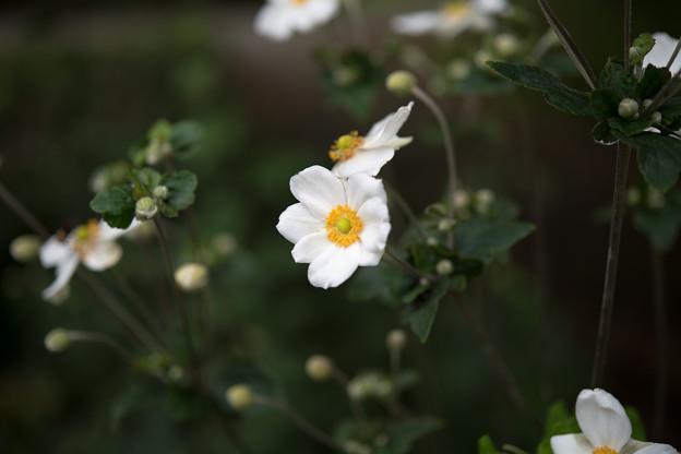 14神代植物公園【シュウメイギク】7