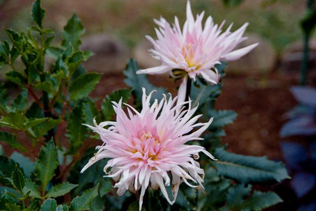 15神代植物公園【ダリア:ダイヤモンド・サンセット】銀塩NLP