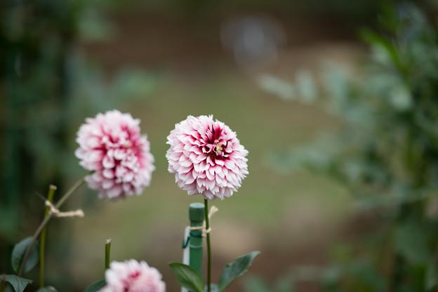 18神代植物公園【ダリア:アポロ】