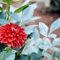 Photos: 19神代植物公園【ダリア:結】銀塩NLP