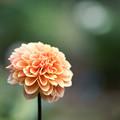 Photos: 21神代植物公園【ダリア:オレンジ・サンシャイン】1