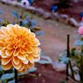 Photos: 22神代植物公園【ダリア:オレンジ・サンシャイン】2銀塩NLP