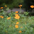 Photos: 24神代植物公園【キバナコスモス】