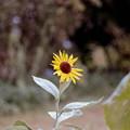 Photos: 25神代植物公園【ヒマワリ】銀塩NLP