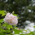 Photos: 26神代植物公園【スイフヨウ】