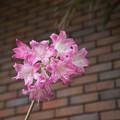 Photos: 27神代植物公園【ホンアマリリス】