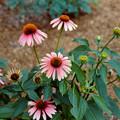 Photos: 28神代植物公園【エキナセア】銀塩NLP