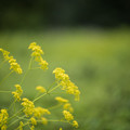 Photos: 29神代植物公園【オミナエシ】