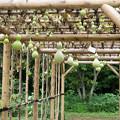 30神代植物公園【ヘチマ】